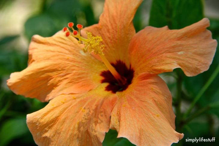 hibiscus, spring