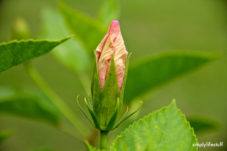 stillness, flower bud